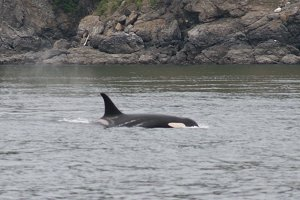 Killer Whale off the coast of Washington State